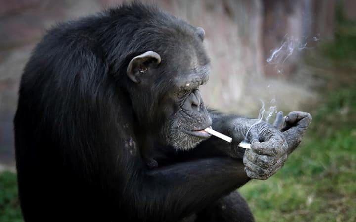 111520781_chimpanzee_lights_one_cigarette_news-large_transeo_i_u9apj8ruoebjoaht0k9u7hhrjvuo-zlengruma